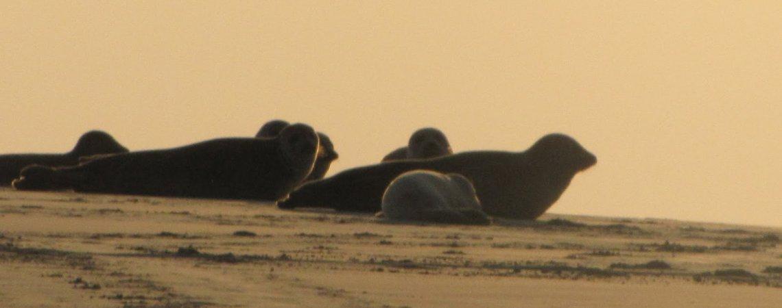 Zeehonden spotten op de waddenzee
